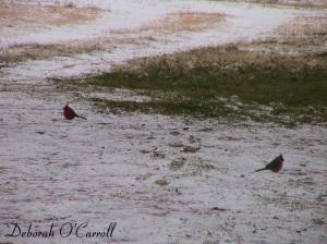 snow_cardinals_2014